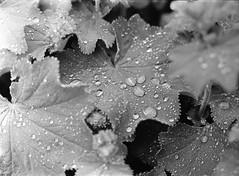 Rain drops (geojpix) Tags: 120 400tx 645 6x45 adonal analog blackwhite film kodaktrix mf mamiya645protl mediumformat rodinal bwfp