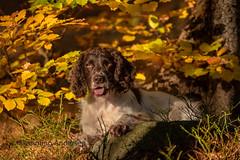 in the autumn forest (Flemming Andersen) Tags: wood zigzag spaniel hund pet nature green dog colors outdoor autumn cocker orange animal harrachov liberecregion czechrepublic cz