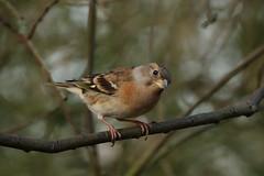 Brambling - Are you looking at me (hedgehoggarden1) Tags: brambling birds wildlife nature creature animal sonycybershot norfolk eastanglia uk branch sony bird