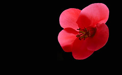 CORTS - FLOR (Joan Biarnés) Tags: corts pladelestany girona catalunya flor macro 294 panasonicfz1000