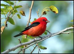 Scarlet Tanager (Ed Sivon) Tags: america canon nature lasvegas wildlife wild western southwest flickr red bird black galveston texas
