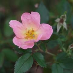 Simple Rose (bamboosage) Tags: meyeroptik oreston 1850 m42