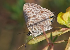 Lang's short-tailed blue, Leptotes pirithous (David_W_1971) Tags: butterflieslycaenidae mallorca2018