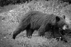 Plushy guy (Sir_Francis_Barney) Tags: banff canada kanada rocky mountains bear bär