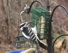 Male Hairy Woodpecker IMG_0842 (Ted_Roger_Karson) Tags: birds bird feeder woodpecker redbellied back yard friends backyard northern illinois canon sx280 hs powershot miniature compact pocket camera male seed cake zoom animals suet telephoto thisisexcellent twop test photo hand held minicompact food bell downy hairy redbelliedwoodpecker hairywoodpecker illinoisnorthern canonpowershotsx280hs