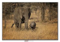 Mother and child (Suvrangshu) Tags: suvrangshughoshphotography suvghoshphotography canon5dmarkiii wildlifephotography africa africansafari wildafrica tanzania sarengeti masaimara motherandchild elephantmotherandchild