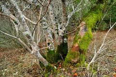 Buckeye trunks covered with lichen and moss. (openspacer) Tags: aesculus buckeye josephdgrantcountypark lichen moss santaclaracounty sapindaceae tree