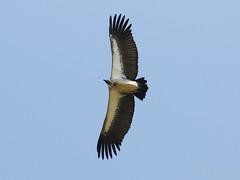 White-backed Vulture (npaprock) Tags: gypsafricanus gyps vulture scavenger whitebackedvulture ethiopia africa bird oromia raptor