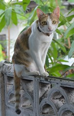 cat on top of a wall (the foreign photographer - ฝรั่งถ่) Tags: cart cat wall top khlong thanon bangkhen bangkok nikon d3200