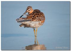 Dowitcher (Betty Vlasiu) Tags: bird nature wildlife florida dowitcher limnodromus