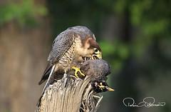 IMG-20171229-WA0013 (TARIQ HAMEED SULEMANI) Tags: sulemani tariq tourism trekking tariqhameedsulemani winter wildlife wild birds nature nikon