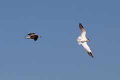 Caspian Tern (Wild Chroma) Tags: hydroprogne caspia hydroprognecaspia tern birds nonpasserines ludo riaformosa algarve faro portugal