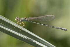Libélula (Ce Rey) Tags: macro libélula dragonfly insect insecto odonata nature naturaleza green verde canoneos80d ef100mmf28lmacroisusm caballitodeldiablo naturephotography macrophotography