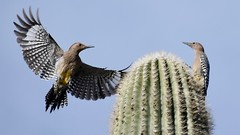 Gila Woodpeckers Compete for King of the Cactus (Michael Zaccaria) Tags: gila woodpecker in flight arizona tucson
