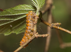 IMG_3402  Eterusia aedea formosana Jordan, 1907 茶斑蛾(蓬萊茶斑蛾) (vlee1009) Tags: 2019 60d january nantou taiwan caterpillars moths
