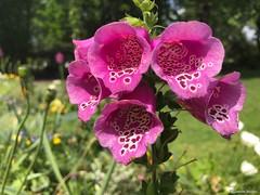 fleur-rose-tachetées© (alexandrarougeron) Tags: photo alexandra rougeron flickr fleurs nature plante végétal végétale ville beauté couleur frais