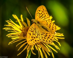 Kaisermantel (Andi Fritzsch) Tags: macro macrophotography nature naturephotography insekten insect insectphotography schmetterlinge butterfly butterflyphotography closeup closeupphotography flowers flowercolors flowerpower kaisermantel