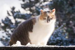 Mimi in the snow (bertrandwaridel) Tags: 2018 echallens january mimi switzerland vaud winter cat cats snow