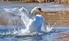 Wild Live Schwanenwäsche ;-) (baerchen57) Tags: tiere animals vogel vögel natur wild live swan schwan waschtag