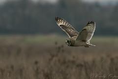 Short Eared Owl-1250 (WendyCoops224) Tags: 100400mml 80d fens canon eos ©wendycooper short eared owl asio flammeus