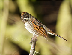 Reed Bunting (m)  -explored 15/1/19 #50 (~ **Barbara ** ~) Tags: bird reedbunting m summerleys wildbird tree sunshine cold canon7dii explored