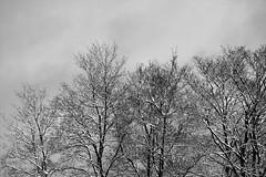 6Q3A9510 (www.ilkkajukarainen.fi) Tags: blackandwhite mustavalkoinen monochrome nature photo luonto kuva espoo visit travel travelling happy life suomi finland finlande eu europa scandinavia threes puut snow lumi winter talvi