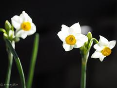 Narcissus (Yorkey&Rin) Tags: 2019 em5markii flower inmygarden january japan kanagawa leicadgmacroelmarit45f28 macro narcissus olympus p1030030 rin winter マクロ 一月 水仙 庭 冬