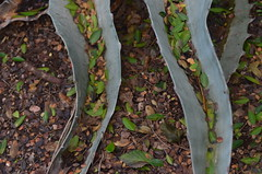 Shoot The Chutes (MPnormaleye) Tags: agave plants leaves garden botanical nature bookends parentheses utata helios