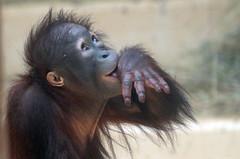 orangutan Sabbar Ouwehands 094A0134 (j.a.kok) Tags: orangutan orang orangoetan animal aap ape asia azie mammal monkey mensaap primate primaat zoogdier dier sabbar ouwehands