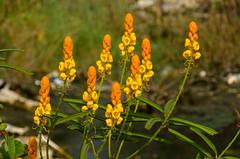 Sam Roi Yot (sillie_R) Tags: flower samroiyot thailand prachuapkhirikhan th