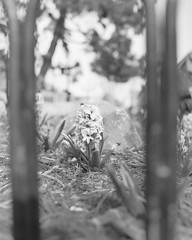 Summer Flowers (alt7516) Tags: mamiya rz67 rz 67 medium format monochrome black white blackandwhite fuji fujifilm acros landscape
