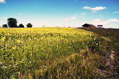 Turned Suns (kodakid18) Tags: passionlavande tournesols jaune countryside fields flowers fleurs stsévèrequébec flowersfields sunflowers summer girasol people