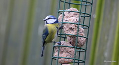 Swing and grip (mootzie) Tags: wildlife blue tit nature yellow claws grip aberdeenshire scotland
