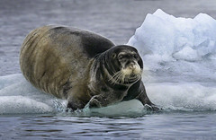 Beaded Seal Going for Swim (Elaine Jones Heron) Tags: breadedseal ice master ocean seal svalbard