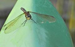 Blue Dasher ♀ - Libellule pachydiplax ♀ - Pachydiplax longipennis (P9_DSCN9706-1PE-20180816) (Michel Sansfacon) Tags: dragonfly libellule nikoncoolpixp900 parcnationaldesîlesdeboucherville parcsquébec faune