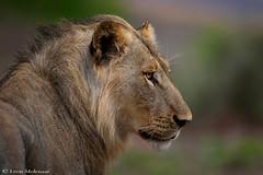 Young male lion (leendert3) Tags: leonmolenaar southafrica krugernationalpark wildlife nature mammals africanlion ngc npc