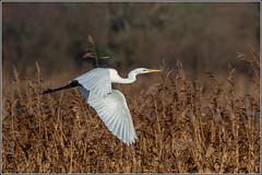 Great Egret (Ardea alba) (Smudge 9000) Tags: 2018 ardeaalba birds egret greategret nnr stodmarsh winter white canterbury england unitedkingdom gb