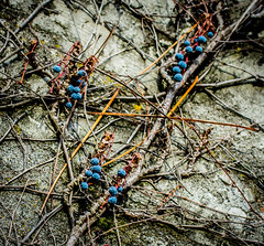 Something Blue. (Omygodtom) Tags: wall blue berry outside macro nature natural nikkor usgs coth5 7dwf scene senery setting google flora flickriver
