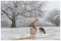 Rencontre au coeur de l'hiver (Pascale_seg) Tags: paysage landscape nature tree givre frost neige snow hiver winter moselle lorraine grandest france nikon mist misty brume brumeux daim