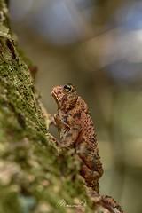 Anaxyrus americanus americanus (ManonDx) Tags: bufo americanus crapaud anoure amphibian amphibien anoura photography forest nature environnement nikon d5500 biodiversité sigma 2018 canada trip mont tremblant