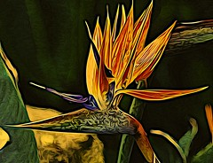 Enhanced (chauvin.bill) Tags: digitalart birdofparadise macro tamron olbrich ipadart icolorama manipulatedimages impressionism photomanipulation netartii