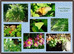Survivors (M.P.N.texan) Tags: collage flower flowers plant fern gulffritillary cloudlesssulphur butterfly butterflies insect insects texas mum chrysanthemum garden