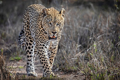 On the Prowl... (DTT67) Tags: leopard prowling hunting animal mammal sabisabi southafrica africa canon 5dmkiv 14xtciii 500mmii nationalgeographic nature wildlife