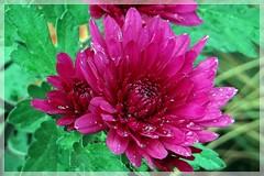 Happy Sunday (Gartenzauber) Tags: sony aster ngc npc floralfantasy