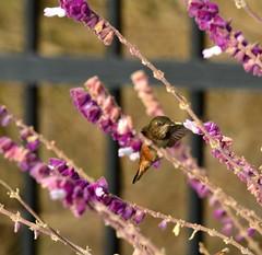 DSC_0141 (tracie7779) Tags: allenshummingbird mexicanbushsage ranchopalosverdes terranearesort bird california