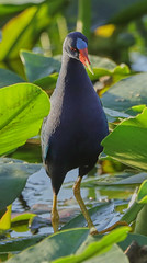 11-12-18-0041947 (Lake Worth) Tags: animal animals bird birds birdwatcher everglades southflorida feathers florida nature outdoor outdoors waterbirds wetlands wildlife wings