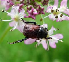 Hoplia philanthus Welsh Chafer (gailhampshire) Tags: hoplia philanthus welsh chafer taxonomy:binomial=hopliaphilanthus