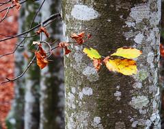 Dettagli d'autunno - Autums details (Ola55) Tags: ola55 umbria italy autumn autunno albero tree foglie leaves bosco wood italians