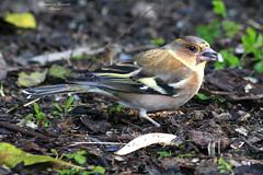 Fringuello - Fringilla coelebs (francescociccotti1) Tags: greatphotographers fringuello uccello bosco birdwatching