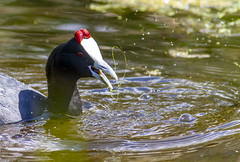 Red-knobbed coot (Arranion) Tags: